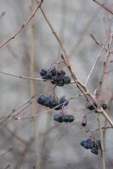 Lauritzen_berries